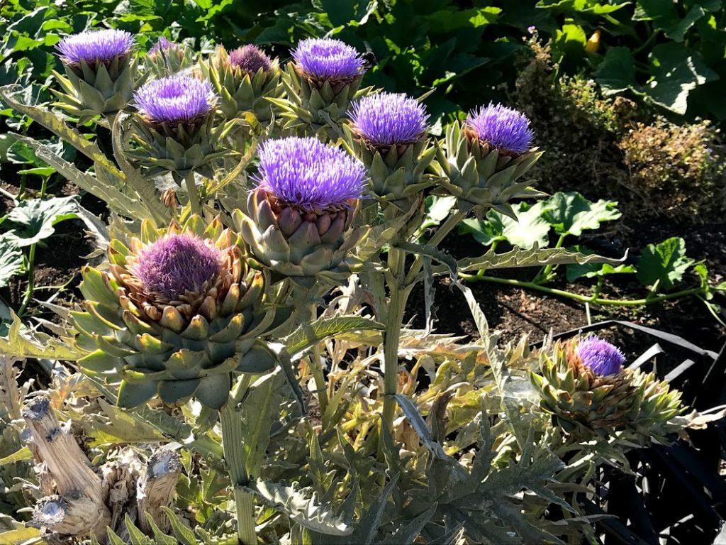 Blooming artichokes