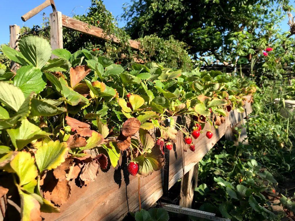 Late Strawberries